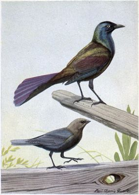 Creaker the Purple Grackle, The Male Cowbird - Burgess Bird Book ©©