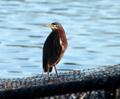 Green Heron at Lake Morton by Lee