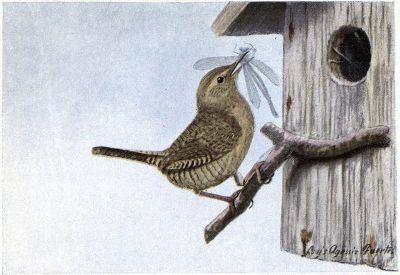 Jenny Wren - Burgess Bird Book ©©