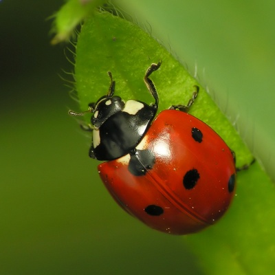 Ladybug ©WikiC