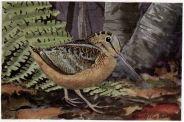Longbill the Woodcock - Burgess Bird Book ©©