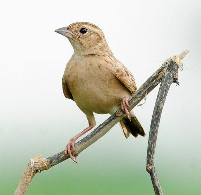Singing Bush Lark (Mirafra cantillans) by Nikhil Devassar