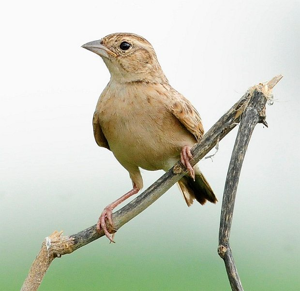 Singing Bush Lark (Mirafra cantillans) by Nikhil Devassar