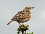 Singing Bush Lark (Mirafra cantillans) ©WikiC