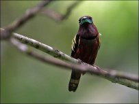 Banded Broadbill (Eurylaimus javanicus) by Ian