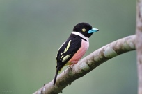 Black-and-yellow Broadbill (Eurylaimus ochromalus) ©©Flickr HHaka