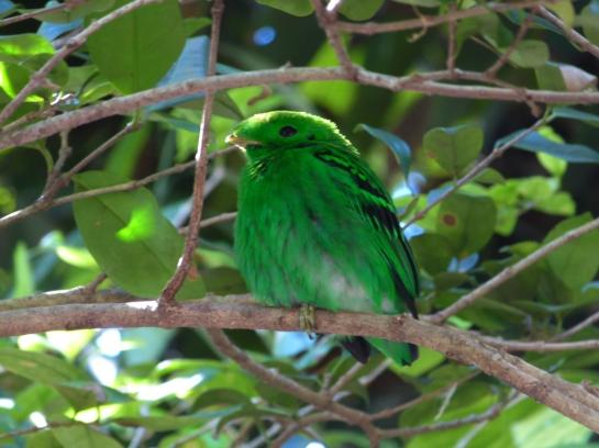 Green Broadbill (Calyptomena viridis) by Lee at ZM