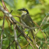 Singing Honeyeater (Gavicalis virescens) ©WikiC