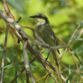 Singing Honeyeater (Gavicalis virescens) ©WikiC