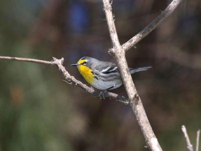 Grace's Warbler (Setophaga graciae) ©WikiC