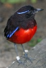 Graceful Pitta (Erythropitta venusta) ©WikiC
