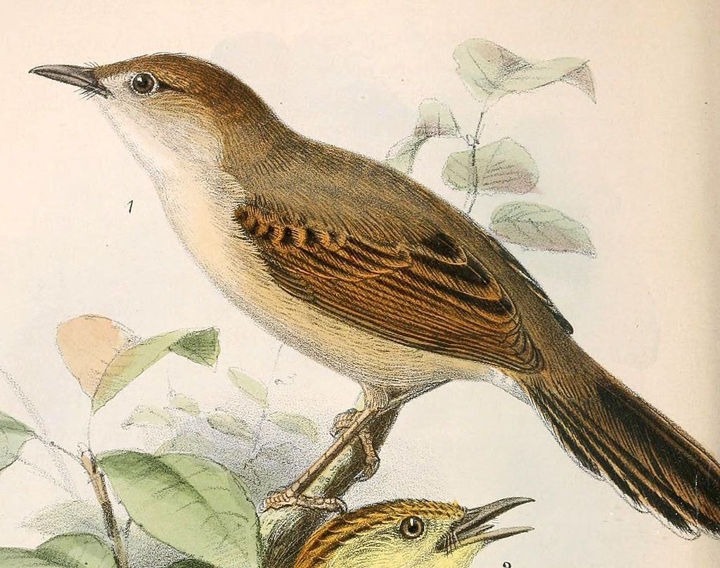 Singing Cisticola (Cisticola cantans) ©WikiC Drawing