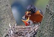 American Robin (Turdus migratorius)with youngsters by Raymond Barlow
