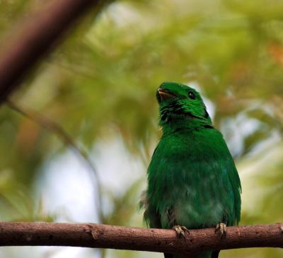 Green Broadbill by Dan at Zoo Miami