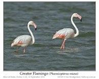 PHO-Phof Greater Flamingo (Phoenicopterus roseus) by Ian