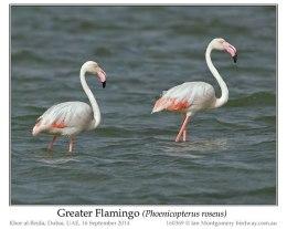 Ian's Bird of the Week – GreaterFlamingo