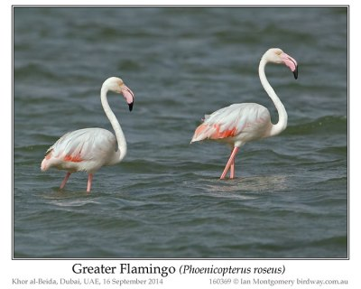 PHO-Phof Greater Flamingo (Phoenicopterus roseus) by Ian