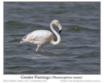 Greater Flamingo (Phoenicopterus roseus) by Ian