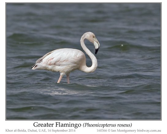 Greater Flamingo (Phoenicopterus roseus) by Ian