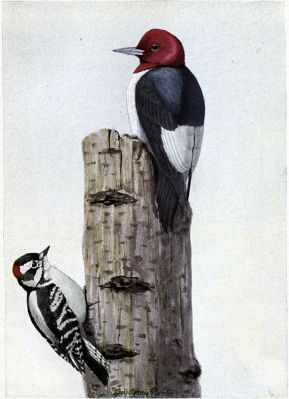Redhead the Woodpecker, Downy the Woodpecker - Burgess Bird Book ©©