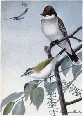 Scrapper the Kingbird, Redeye the Vireo - Burgess Bird Book ©©