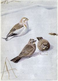 Snowflake, the Snow Bunting and the Horned Lark