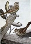 Sweet Voice the Vesper Sparrow, Little Friend the Song Sparrow - Burgess Bird Book ©©