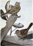 Sweet Voice the Vesper Sparrow, Little Friend the Song Sparrow - Burgess Bird Book ©©