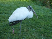 Wood Stork at Lake Morton