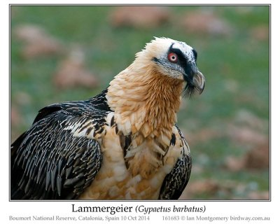 Bearded Vulture (Gypaetus barbatus) or Lammergeier by Ian