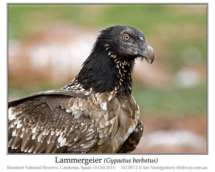 Lammergeier Lees Birdwatching Adventures Plus