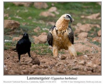 Bearded Vulture (Gypaetus barbatus) or Lammergeier by Ian