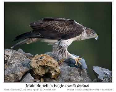 Bonelli's Eagle (Aquila fasciata) by Ian