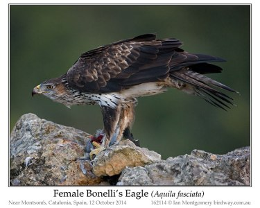 Bonelli's Eagle (Aquila fasciata) by Ian Female