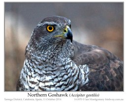 Ian's Bird of the Week – Northern Goshawk