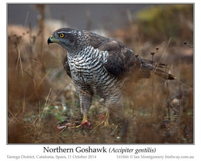 Northern Goshawk (Accipiter gentilis) by Ian