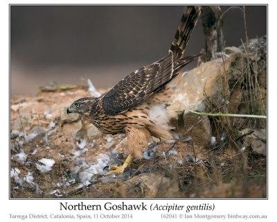 Northern Goshawk (Accipiter gentilis) by Ian