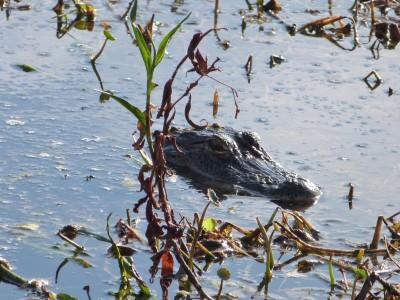 Alligator Circle B Bar Reserve by Lee
