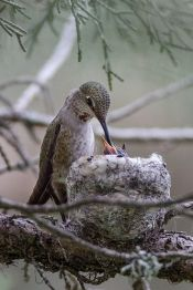 Anna's Hummingbird with Chicks From Pinterest
