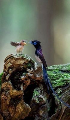 Bird of Paradise with baby From Pinterest