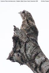 Common Potoo (Nyctibius griseus) by ©AGrosset