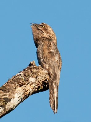 Common Potoo (Nyctibius griseus) by Dario Sanches