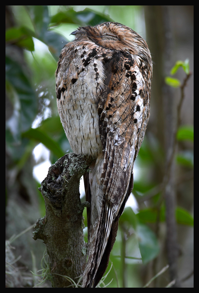 Common Potoo (Nyctibius griseus) by R Scanlon