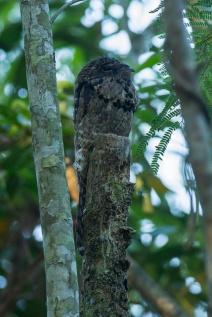 Common Potoo (Nyctibius griseus) ©Francesco Veronesl