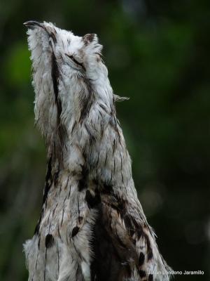 Common Potoo (Nyctibius griseus) ©Jullan Iondono