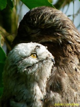 Common Potoo (Nyctibius griseus) with young ©Jullan Iondono