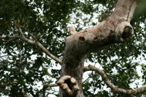 Great Potoo (Nyctibius grandis) ©Arthur Chapman