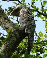 Great Potoo (Nyctibius grandis) ©barloventomaglco