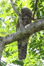 Great Potoo (Nyctibius grandis) ©Dave Curtis