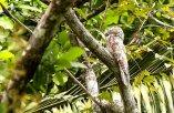 Great Potoo (Nyctibius grandis) ©Francesco Veronesl